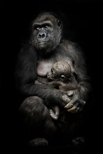 Gorilla Monkey Mother  Nurses Her Little Baby Infant, Cute Scene. Isolated Black Background.