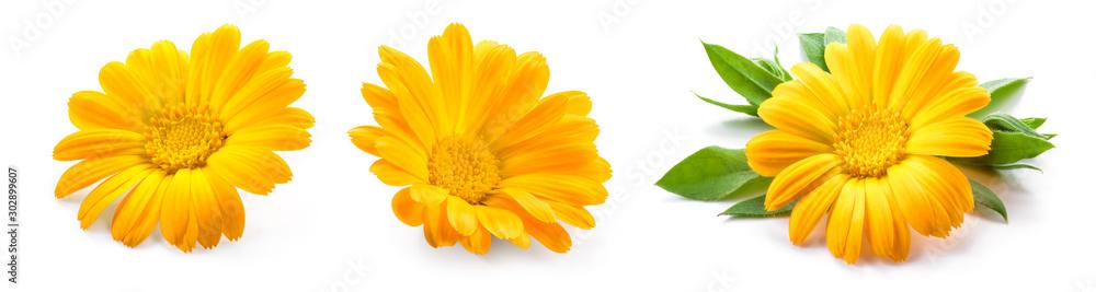 Fototapeta Calendula. Calendula flower isolated. Marigold on white.
