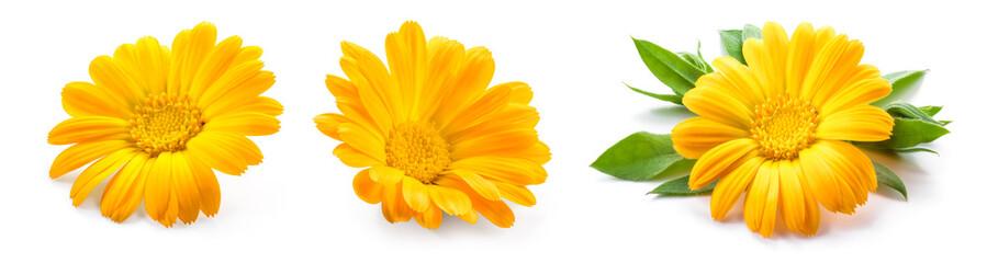 Calendula. Calendula flower isolated. Marigold on white.