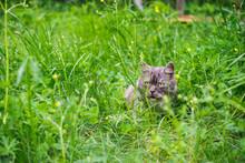 Siberian Cat. Gray Cat. Cat Hiding In Green Grass