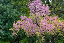 Spring Pink Blossom Of Judas Tree Cercis Siliquastrum Close Up
