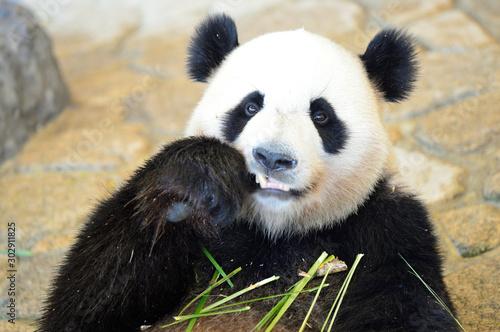 Poster Panda 竹と笹の葉を食べるパンダ