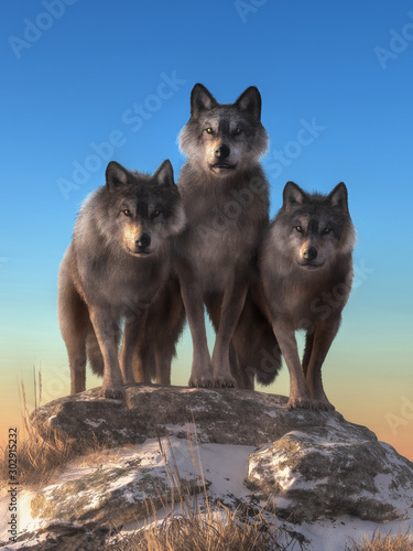 Naklejki wilk  in-the-wilderness-of-north-america-three-gray-wolves-stand-on-top-of-a-snow-covered-hill-and-stare-back-at-you-3d-rendering