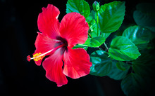 Red Hibiscus Flower On Black Background