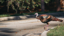 Florida Wild Turkey Crossing T...