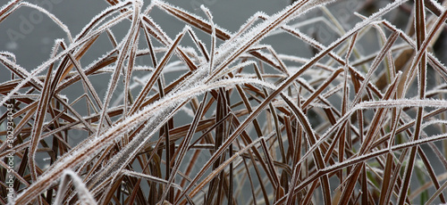 Fotografie, Obraz Long dry brown leaves of a marsh sedge in white crystals of hoarfrost on a gray background of ice