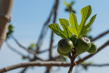 Young Green Figs On Branche Of Fig Tree. Fresh Spring Branch With Young Green Leaves And Fruits Against Sky