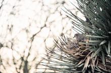 Desert Dove Nesting In A Joshu...