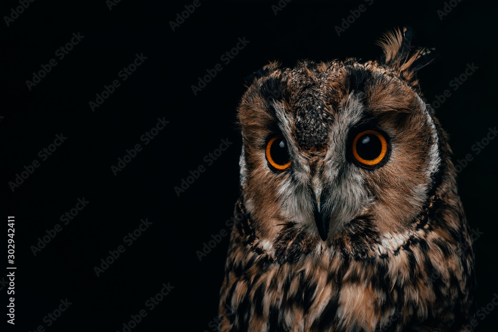 cute wild owl muzzle isolated on black with copy space