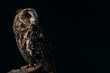 canvas print picture - wild owl sitting in dark on wooden branch isolated on black with copy space
