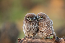 Two Young Little Owls, Athene Noctua, Sitting On A Stick Pressed Against Each Other
