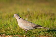 Eurasian Collared Dove, Strept...