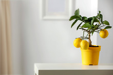 Lemon Tree In Yellow Flowerpot...