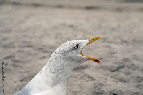 Portrait of the head of a shrieking seagull with open mouth on the beach Wallpaper Mural
