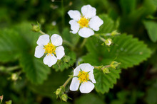 White Strawberry Flowers Among Green Leaves On A Bed_