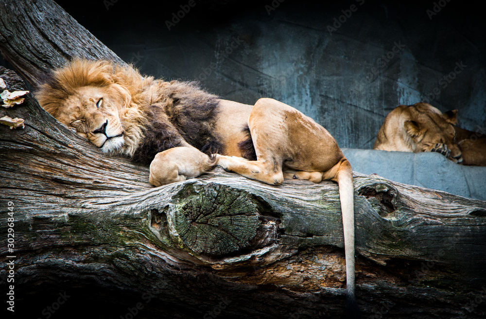 Fototapeta Sleeping African lion family relaxing on a tree with beautiful background stone full of shades and strong blue color