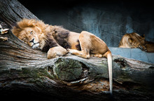 Sleeping African Lion Family R...