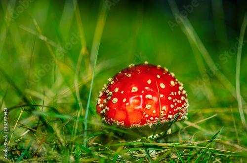Photo red fly agaric mushroom