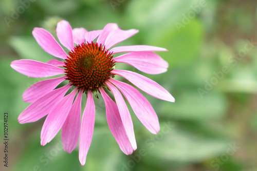 Photo Echinacea purpurea (Asteraceae) is a perennial medicinal herb with important immunostimulatory and anti-inflammatory properties, especially the alleviation of cold symptoms