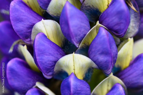 Close Look at the Delicate Blue Lupine Flower Petals