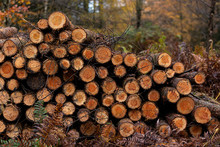 Freshly Cut Logs, Logging Sawmill, Rolls Of Log's Cannock Chase Forest