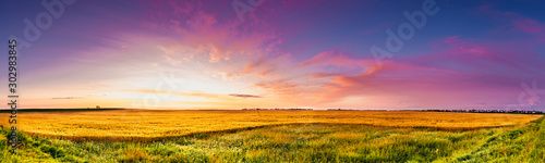 Fotografiet Sunrise of magenta clouds and deep blue sky over a North Dakota golden wheat fie