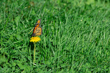 A Beautiful Monarch Butterfly ...