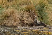 Young Southern Sea Lion (Otari...