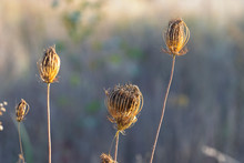 Dry Flowers Of Wild Carrots In...