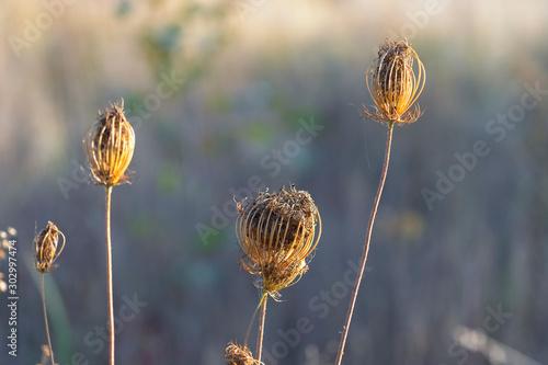 Valokuva  Dry flowers of wild carrots in autumn (September)