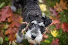Black And Silver Schnauzer Dog On Ground Of Autumn Red Gold Leaves. Selective Focus For Bokeh Background. Unique Perspective From Up High.  Dog Looking Directly At Camera.