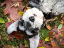 Black And Silver Schnauzer Dog On Ground Of Autumn Red Gold Leaves. Selective Focus On Nose.