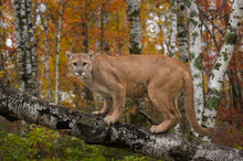 Adult Male Cougar (Puma Concol...
