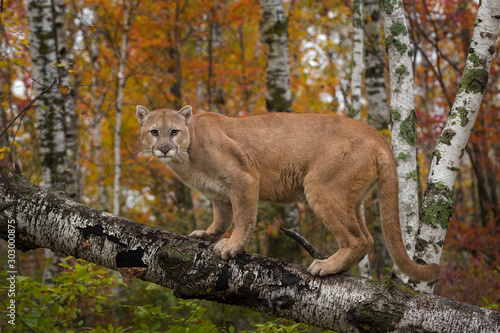 Fototapeta Adult Male Cougar (Puma concolor) Stares Out from Atop Birch Branch Autumn obraz