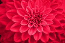 Defocused Pink Coral Dahlia Petals Macro, Floral Abstract Background. Close Up Of Flower Dahlia For Background, Soft Focus.