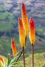 Red Hot Poker Flowers In The Ethiopian Highlands