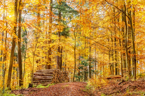Fototapety, obrazy: Beech Tree Forest in Fall, Forest Road, Woodpile, Germany