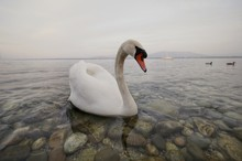 White Swan With Orange Beak Swimming In A Crystal Clear Lake With Stones And A Boat