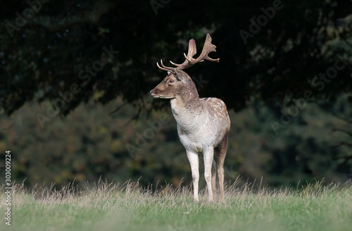 Fototapeta A solitary fallow deer stag stands in front of a wood. It faces left and on its neck are fresh injuries from fighting obraz