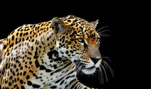 Beautiful Jaguar Portrait