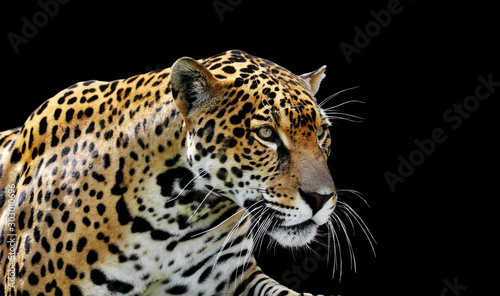 Fotografia Beautiful jaguar portrait