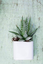 Succulents In White Pot With Soil Spilling Out