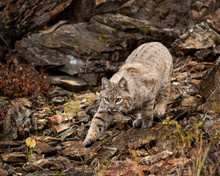 Bobcat Adult Playing In The Mo...