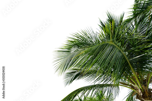 Αφίσα  Green Leaves of palm ,coconut tree bending isolated on white background