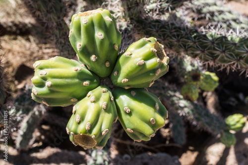 A cluster of Cholla cactus fruit in the desert.