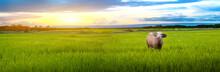 Staring Buffalo And Green Rice...