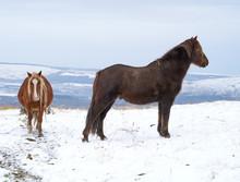 Wild Welsh Mountain Ponies In ...