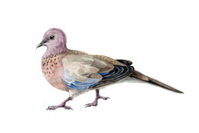 Pink Spotted Pigeon Watercolor Illustration. Asian Common Bird, Wood Dove, Hand Drawn Image. Wild Beautiful Pigeon Isolated On White Background.