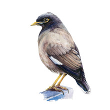 Common Mynah Watercolor Illustration. Indian Bird Standing Single Hand Drawn Closu Up Image. Tropical Asia Mynah Isolated On White Background.
