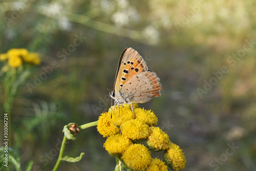 Fototapety, obrazy: Butterfly sitting on a yellow flower in forest outdoor. Closeup.